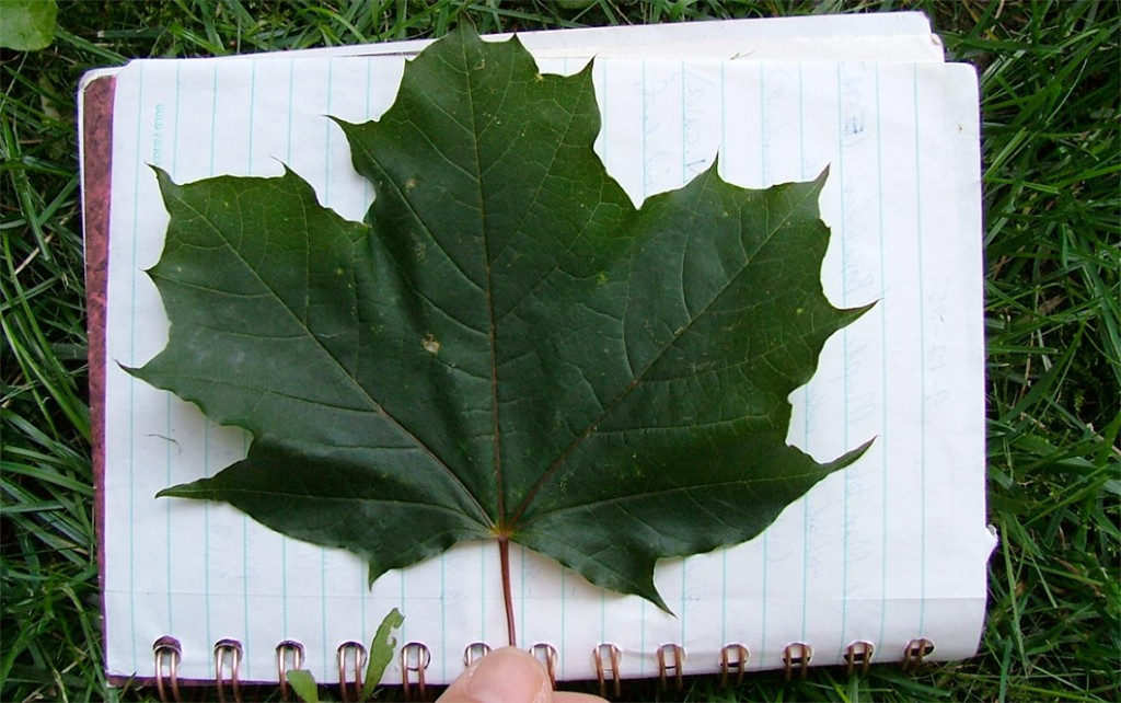 norway maple leaf