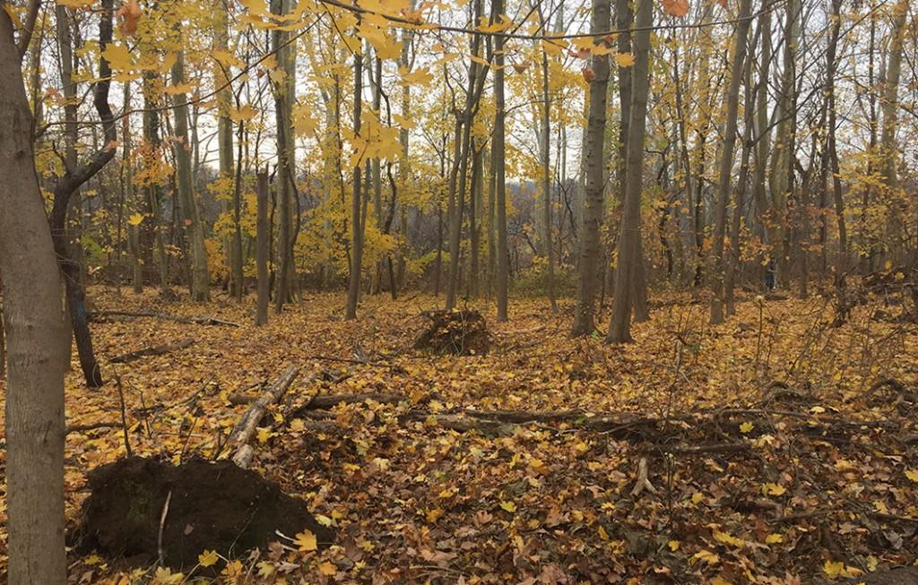 norway maple monoculture