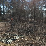 Cutting up a fallen Ailanthus tree