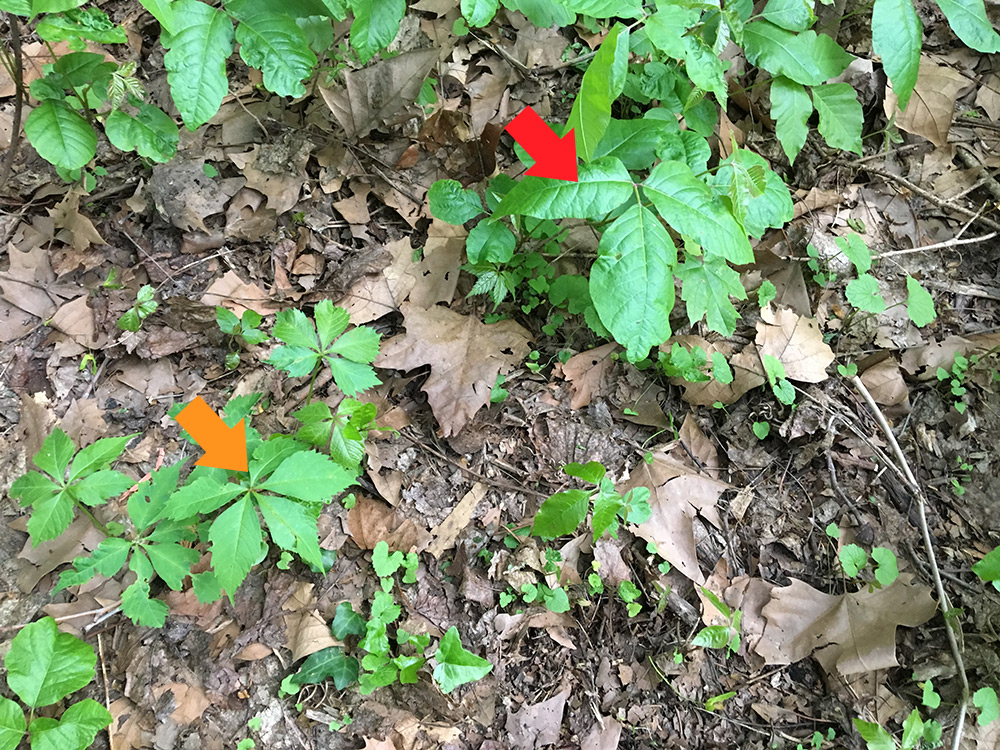 poison ivy and virginia creeper